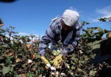 Урожай хлопка впервые за полвека собирают на Ставрополье