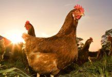 В Приморье выпустили курятину под названием Конор Макгрегор