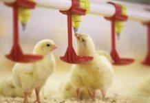 Возбуждено дело по факту невыплаты почти 14 млн рублей работникам Шекснинской птицефабрики