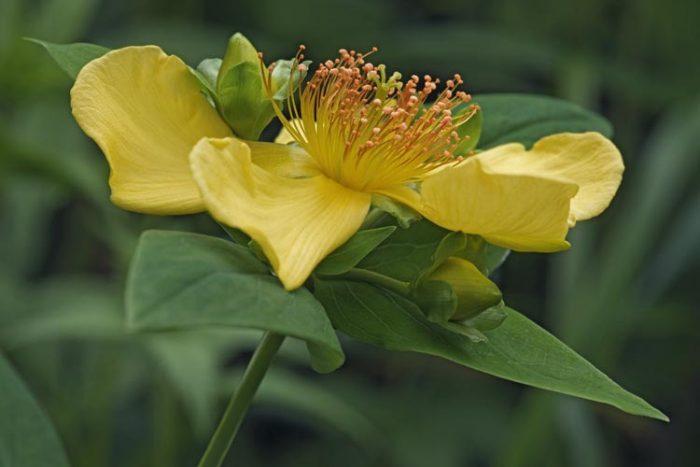 Зверобой Геблера (Hypericum gebleri)