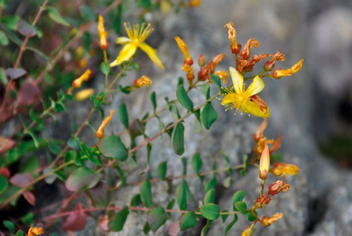 Зверобой монетчатый (Hypericum nummularioides)