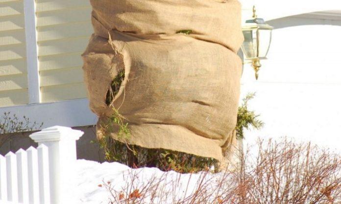 7 условий успешной зимовки хвойных растений