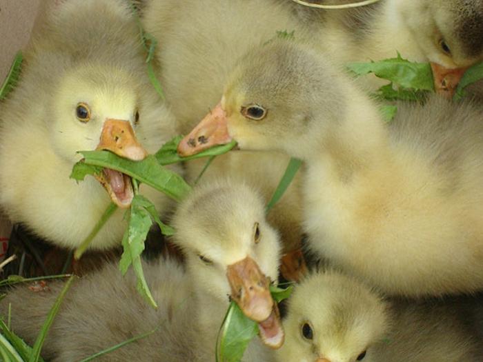 Аграрии Пензенской области обеспечили прирост производства птицы в стране