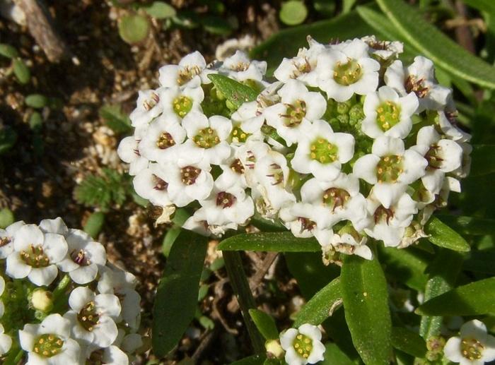 Алиссум морской (Alyssum maritimum), либо лобулярия морская