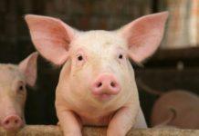 Бороться с африканской чумой свиней в Ленобласти будут до конца 2019 года