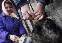 Ческа и стрижка коз