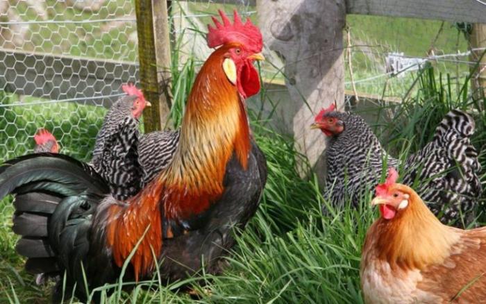 Характеристика кроссов яичных пород кур