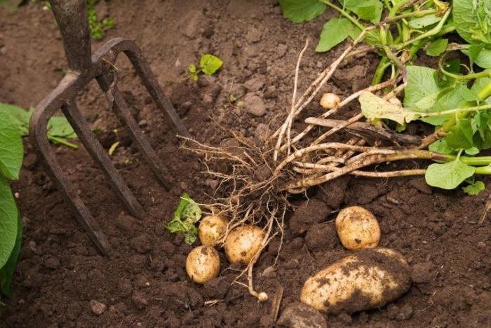 Из обычных огородных культур по трудозатратам у картофеля нет равных.