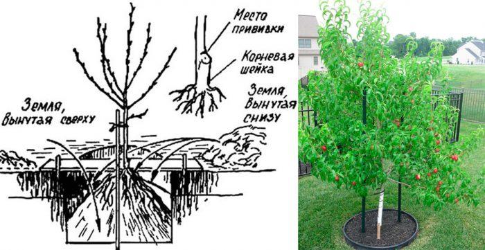 Как посадить нектарин весной