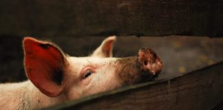 Конституция, экстерьер и производственные типы свиней