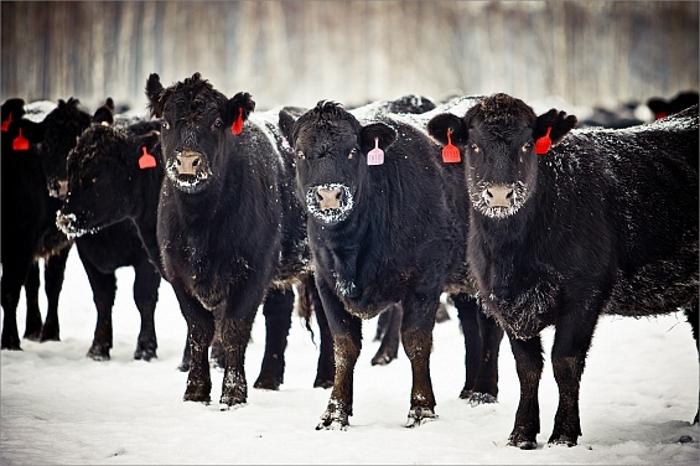 «Мираторг» увеличит поставки бычков для зернового откорма с ферм Калининградской области на 30%
