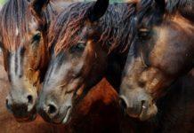 Мокрецы у лошади