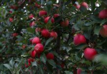 На Ставрополье развивается суперинтенсивное садоводство