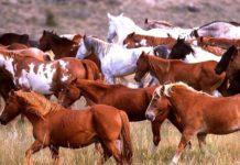 Некоторые направления племенной работы в массовом коневодстве