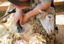 Обработка ран после стрижки овец