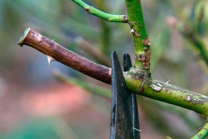 Обрезать осенью можно только больные и старые побеги роз, а также очень сильно разросшиеся кусты.