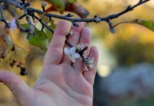 Осеннее цветение плодовых растений — причины и последствия