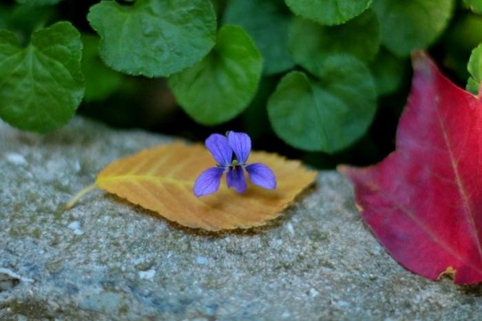 Осенний цветок фиалки лесной.