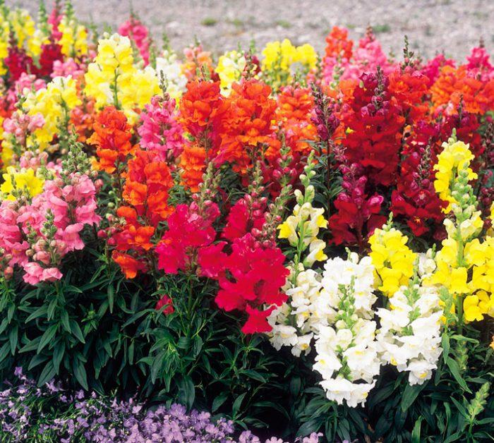 Данный цветок представлен полукустарниками, а также травянистыми растениями, у которого имеются прямые тонкобороздчатые побеги, они ветвистые и окрашены в зеленый цвет. Их высота может варьироваться от 15 до 100 сантиметров. Кусты обладают пирамидальной формой. Сверху листовые пластины являются очереднорасположенными, а снизу ― супротивными. Форма у них может быть ланцетная либо овально-удлиненная, а окрас варьируется от темно- до бледно-зеленого, при этом прожилки окрашены в красный цвет. Ароматные цветочки имеют сравнительно большой размер, они двугубые и обладают неправильную формой. Встречаются как махровые цветки, так и простые (зависит от сорта), они входят в состав соцветий, имеющих форму колоса. Окрас у них может быть желтым, нежно-палевым, белым, розовым, красным (все оттенки), а еще встречаются сорта с двух- и трехцветными цветочками. Плод представляет собой двугнездную многосемянную коробочку. В 1 г содержится 5–8 тыс. семян. Цвести данное растение начинает в июле, а заканчивает после первых осенних заморозков. Зачастую львиный зев, который в диких условиях растет как многолетник, садоводы растят в качестве однолетника. Однако если за растением ухаживать хорошо, и если будут благоприятные условия, то морозоустойчивый львиный зев может перенести зимовку в открытом грунте. При этом на следующий год его цветение будет более эффектным. В садовом дизайне такой цветок растят как бордюрный, однако он может украсить и клумбу и зеленый газон (если львиный зев высадить группами). Еще таким растением украшают террасы и балконы. На сегодняшней день все большую популярность у цветоводов обретают ампельные сорта такого цветка, для выращивания которых можно использовать подвесные конструкции, а также они станут прекрасным украшением галерей и террас.