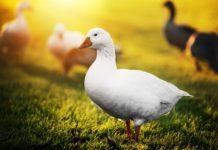 Откорм гусей на жирную печень
