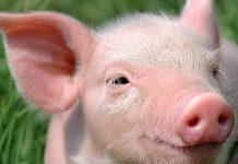 Появилась надежда для свиноводов