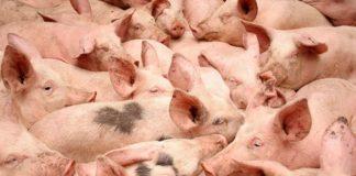 Продуктивность свиней