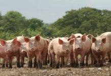 Псковским фермерам выплатят 2 млн рублей на замену свиней альтернативными видами животных