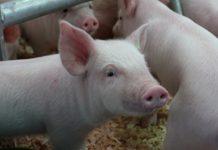 Республика Марий-Эл увеличивает производство свинины