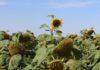 Россия собрала рекордный урожай подсолнечника