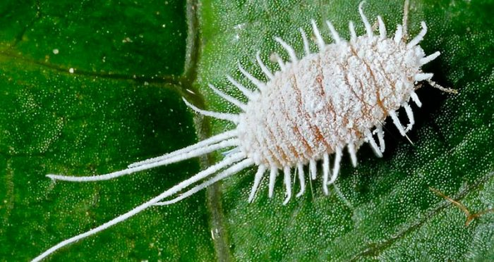 Щетинистый мучнистый червец (Pseudococcus longispinus)