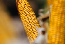 В Липецкой области завершается уборка кукурузы