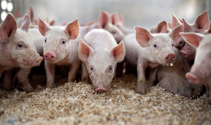 В Омской области начала работать станция искусственного осеменения свиней