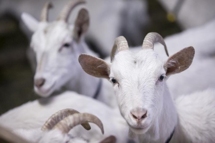 В Республике Татарстан наблюдается позитивная динамика в животноводстве