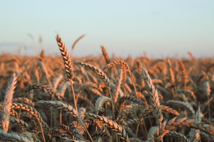 В Татарстане ежегодно испытываются более 1300 сортов сельхозкультур