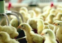 В Татарстане выращивают новый кросс цыплят