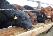 В Тюменской области открылась экоферма на двести коров