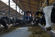 В молочном животноводстве Удмуртии сохраняется положительная динамика