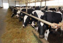 В сельхозпредприятиях Саратовской области произведено 108 тысяч тонн молока