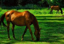 Воспалительные заболевания копыт у лошадей
