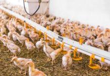 Выращивание ремонтного молодняка яичных кур