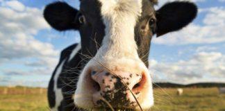 Заболевания крупного рогатого скота