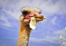 Желудочно-кишечные заболевания страусов