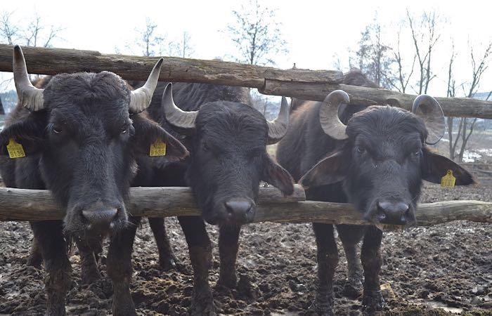 В Подмосковье может появиться буйволиная ферма