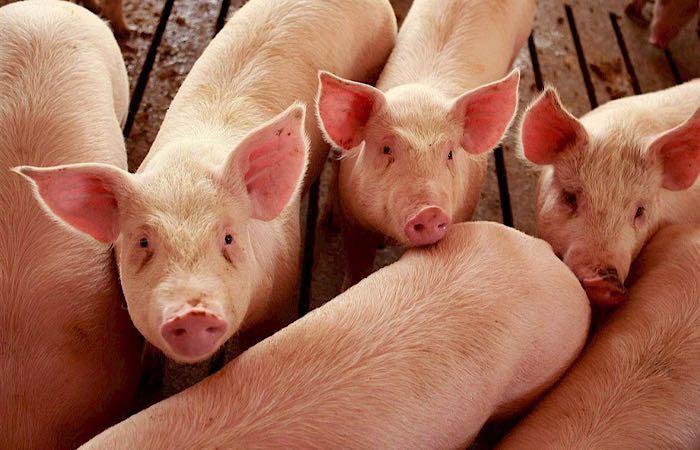 В Китае идет массовый забой свиней