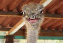 Болезни страусов
