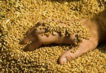 Доля продовольственной пшеницы в 2018 году составила 69,5%
