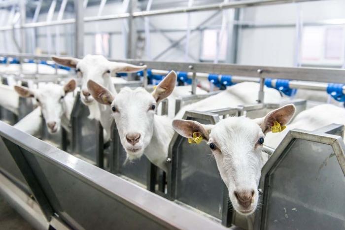 Компания DMSTR займётся проектированием нового комплекса по производству козьего молока в Подмосковье