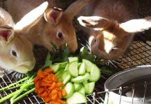 Кормление кроликов и уход за ними