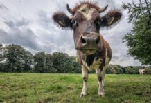 Корова на связи: в желудок животного поместят передатчик