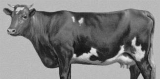 Курганская порода коров